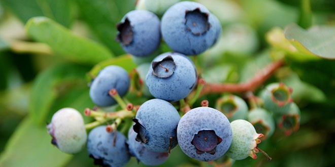 Nutricionista Džoel Marion predlaže BOROVNICE, BROKOLI I PILETINA ZA OPUŠTANJE