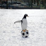 pingvini_mog_tate_08